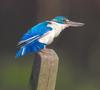 Collared Kingfisher (Todiramphus chloris) - Wiki