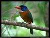 Green-backed Kingfisher (Actenoides monachus) - wiki