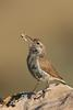 Rock Wren (Salpinctes obsoletus) - wiki