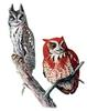 Eastern Screech Owl (Megascops asio) - grey and red phase illust