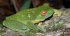 Southern Orange-eyed Treefrog (Litoria chloris) - wiki