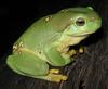 Magnificent Treefrog (Litoria splendida) - wiki