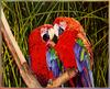 Laura Gilliland- Rollo And Ruby (Green-winged Macaws)