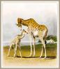 Robert Hills - Giraffes, mother and calf (art)