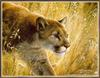 Carl Brenders - The Predator's Walk (Cougar)