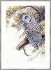 Mark E. Marcuson - Whiskered Screech-owl (Art)