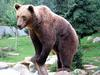 Brown Bear (Ursus arctos) - Wiki