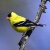 American Goldfinch (Carduelis tristis) - wiki