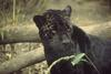 Black Panther (Genus Panthera) - wiki