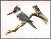 Douglas H. Pratt - Belted Kingfisher (Megaceryle alcyon) - illustration