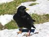 Alpine Chough (Pyrrhocorax graculus) - wiki