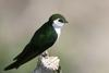 Violet-green Swallow (Tachycineta thalassina) - wiki