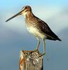 Common Snipe (Gallinago gallinago) - wiki