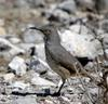 Curve-billed Thrasher (Toxostoma curvirostre) - wiki