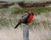 Long-tailed Meadowlark (Sturnella loyca) - wiki