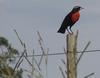 White-browed Blackbird (Sturnella superciliaris) - wiki