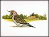 Douglas Pratt - Northern Flicker (Art), Colaptes auratus