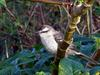 Chalk-browed Mockingbird (Mimus saturninus) - wiki