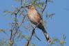 Chilean Mockingbird (Mimus thenca) - wiki