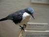Blue-and-white Mockingbird (Melanotis hypoleucus) - wiki