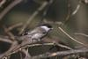 Willow Tit (Poecile montana) - wiki
