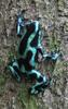 Green-and-Black Poison Dart Frog (Dendrobates auratus) - Wiki