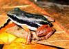 Rainforest Rocket Frog (Colostethus flotator) - Wiki