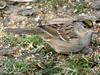 Golden-crowned Sparrow (Zonotrichia atricapilla) - Non-breeding plumage
