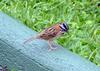 Rufous-collared Sparrow (Zonotrichia capensis) - Wiki