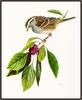 Douglas Pratt - White-throated Sparrow (Art), Zonotrichia albicollis