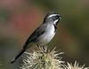 Black-throated Sparrow (Amphispiza bilineata) - Wiki