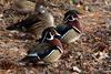 Wood Duck (Aix sponsa) - Wiki