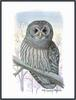 [Owls by Louis Agassiz Fuertes] Barred Owl (Strix varia)