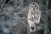 Barred Owl (Strix varia) - Wiki