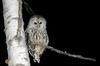 Barred Owl (Strix varia) at night