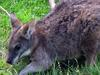 Parma Wallaby (Macropus parma) at zoo