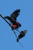 Red-tailed Black Cockatoo (Calyptorhynchus banksii) pair