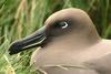 Light-mantled Sooty Albatross (Phoebetria palpebrata) head