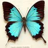 Ulysses Butterfly (Papilio ulysses) - Wiki