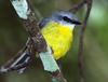 Eastern Yellow Robin (Eopsaltria australis) perched on branch