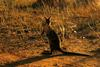 Bridled Nail-tail Wallaby (Onychogalea fraenata) crop