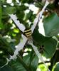 St Andrew's Cross Spider (Argiope keyserlingi) - Wiki