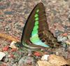 Common Bluebottle (Graphium sarpedon), India