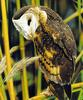 Eastern Grass-owl (Tyto longimembris) - Wiki