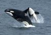 Killer Whale (Orcinus orca) - Wiki