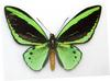 Common Green Birdwing (Ornithoptera priamus) - Wiki