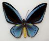 Common Green Birdwing (Ornithoptera priamus)