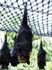 Spectacled Flying-fox (Pteropus conspicillatus) - Wiki