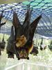 Spectacled Flying-fox (Pteropus conspicillatus) and baby