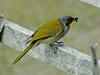 Yellow-throated Honeyeater (Lichenostomus flavicollis)